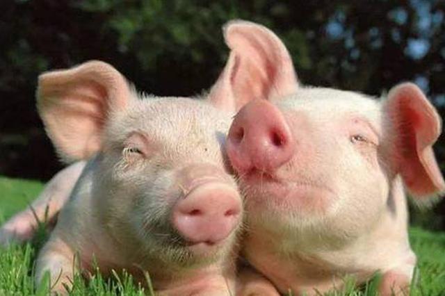 貴州啟動非洲豬瘟疫情Ⅰ級響應