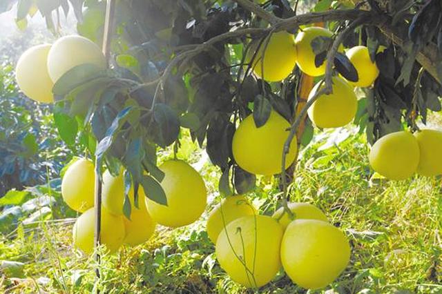 龙吟镇千亩蜜柚喜丰收