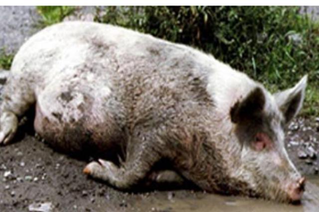 六盘水凤凰山查获非洲猪瘟肉? 相关部门:系变质猪肉