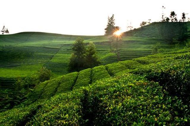 普安探索完善 茶农利益联结模式