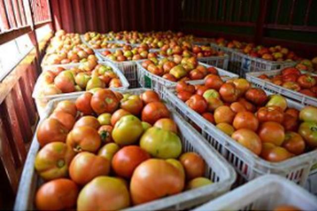 纳雍县张家湾镇 番茄丰收创新高 农户增收笑开颜