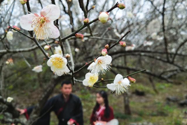 荔波县万亩梅原上,梅花正盛开