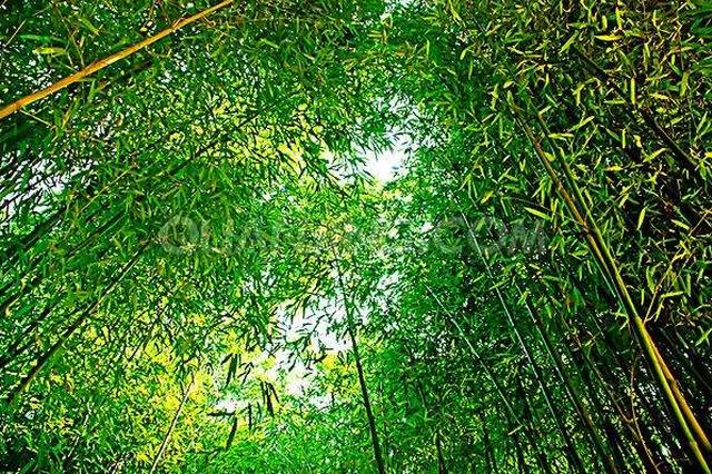 今春遵义已新造方竹林23.63万亩 占全年任务的63.86%