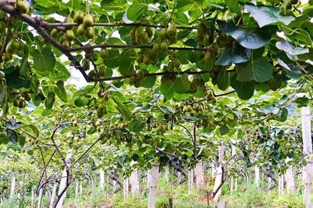 七星关区 猕猴桃种植引领脱贫致富路