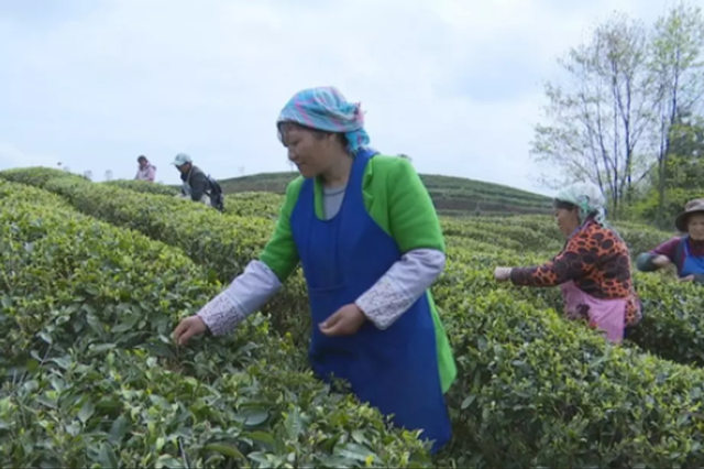 水城县南部园区:茶产业托起搬迁致富梦