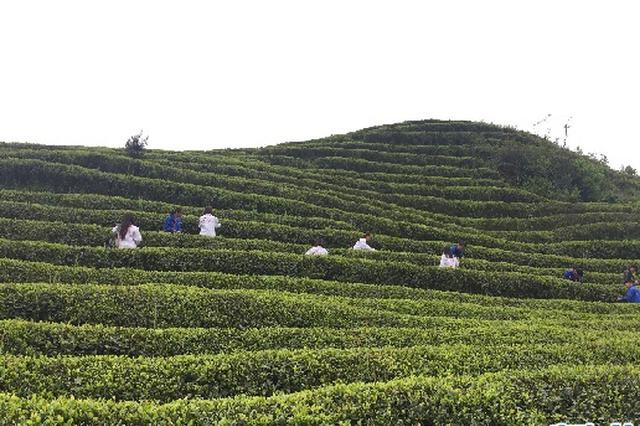 非遗传承人:做大做强家乡茶产业