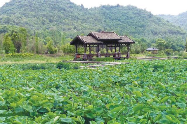 白云区蓬莱村——荷塘月色美 百亩水果甜