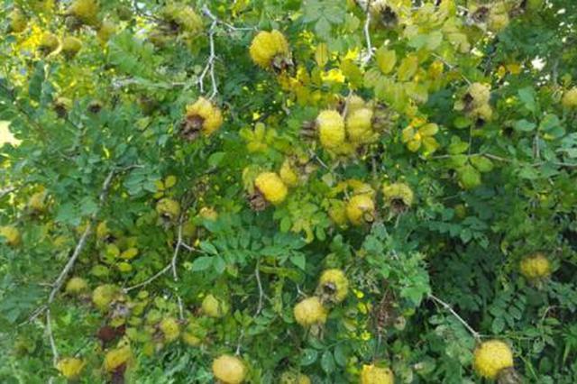 去年贵州调减785万亩玉米 茶叶、薏仁、刺梨种植面积全国第一