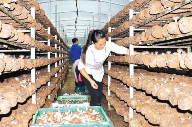 安龙大力发展食用菌产业 菌美生活好,菇香幸福来