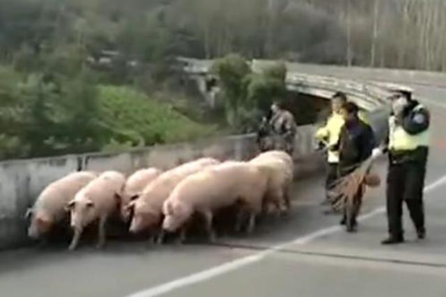 32头肥猪深夜大闹高速路