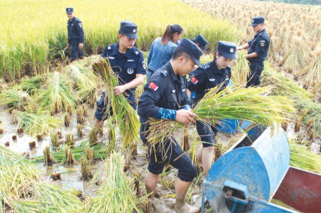 贫困户10亩水稻成熟无力收割 特警帮忙收稻谷