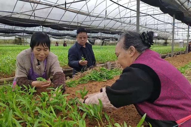 赤水推动金钗石斛产业化发展2025年综合产值将突破50亿