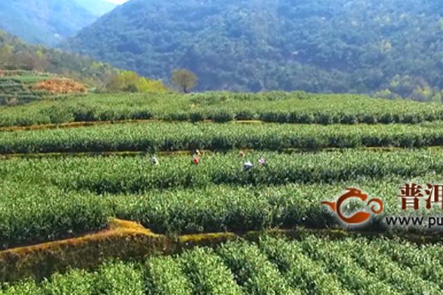 """贵州普安:""""古茶树之乡""""抢采春茶保增收"""