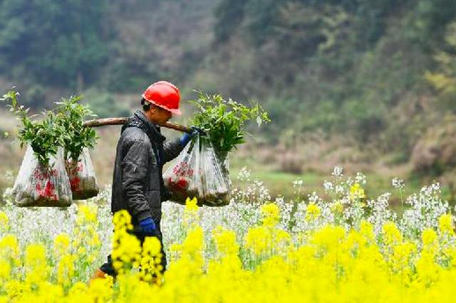 """天然""""宝贝""""促增收——贵州锦屏县培育扶贫产业见闻"""