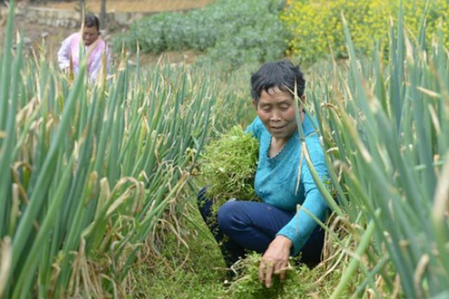 贵州黔西:大葱产业助农增收