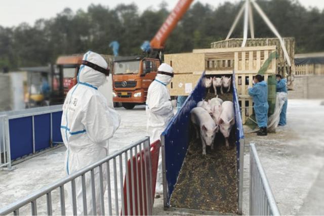 500头法国种猪空降入黔