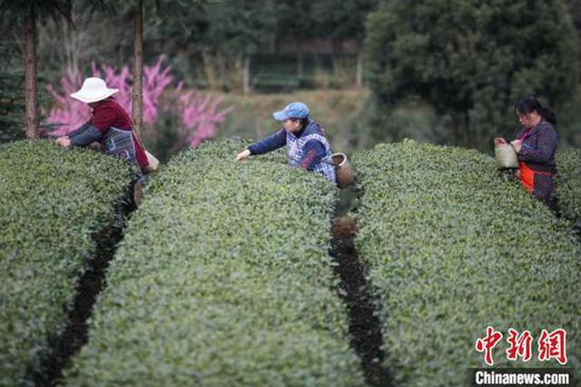 2020年贵州省茶叶生产总量将保持稳定增长态势