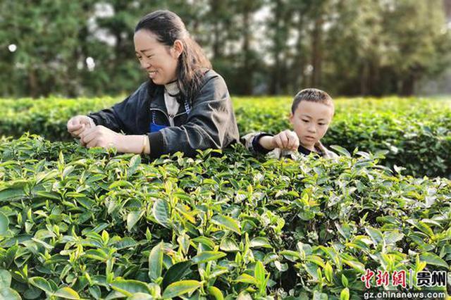 贵州石阡:苔茶生产泛春潮