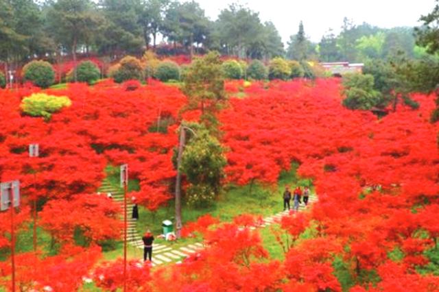 乌当新堡 枫叶正红