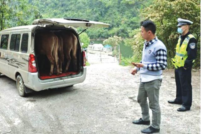 一辆面包车 装了3头牛