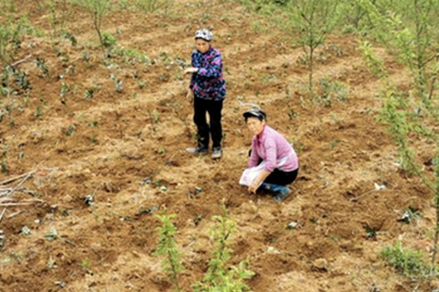 产业结构调整:九节茶种植助农脱贫