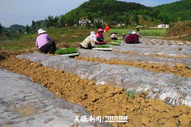 余庆大乌江镇:辣椒移栽忙 产业致富有信心