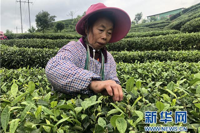 """贵州丹寨:认领""""扶贫茶园""""助脱贫"""