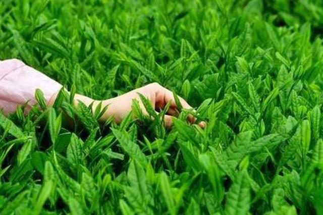贵州茶企知多少:相关企业逾4万家 十年猛增653%
