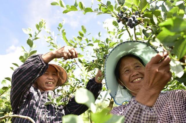 贵州麻江:蓝莓种出富民产业