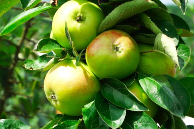 乌当新堡:10万斤苹果即将成熟上市