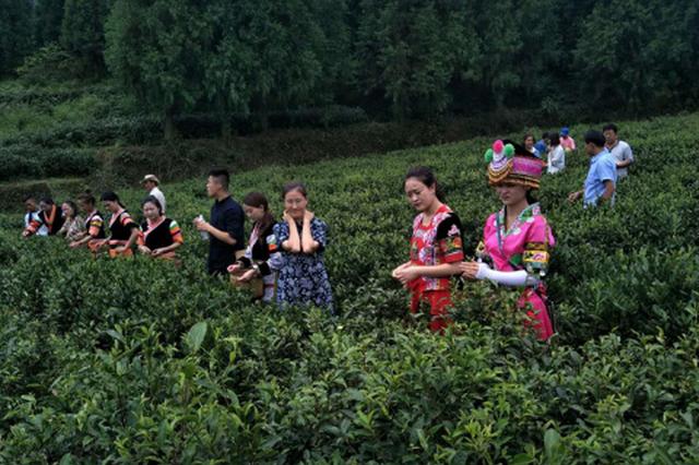 织金珠藏镇:矿山变茶山 青山成金山