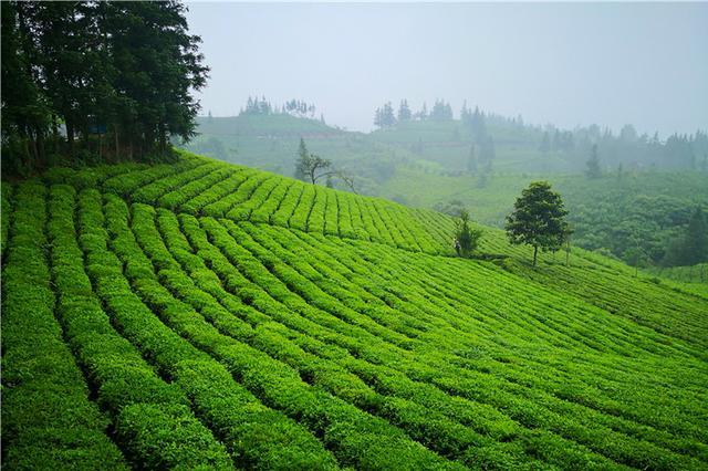 """打造世界茶源红茶""""航母"""" !普安红集团在茶籽化石发现地普安成立"""