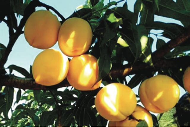 """黄金奈李、苹果桃、锦绣黄桃…… 这些""""小众水果""""你听过吗?"""