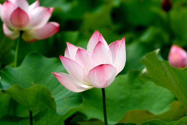 贵州锦屏:花开迎客来