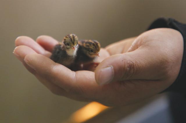 """""""世界最小鸡"""",只有麻雀大"""