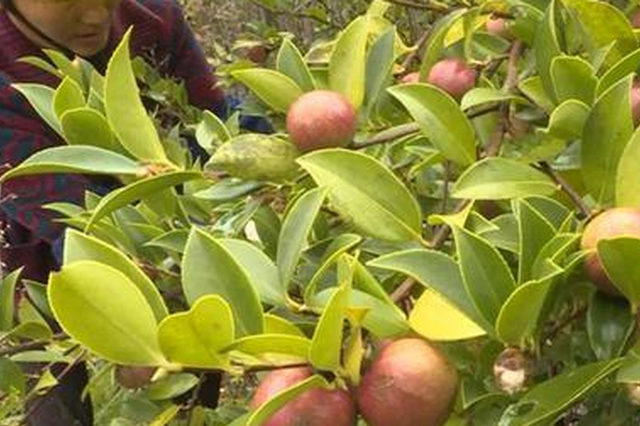 贵州贵定打造千亩油茶基地 带动村民脱贫致富