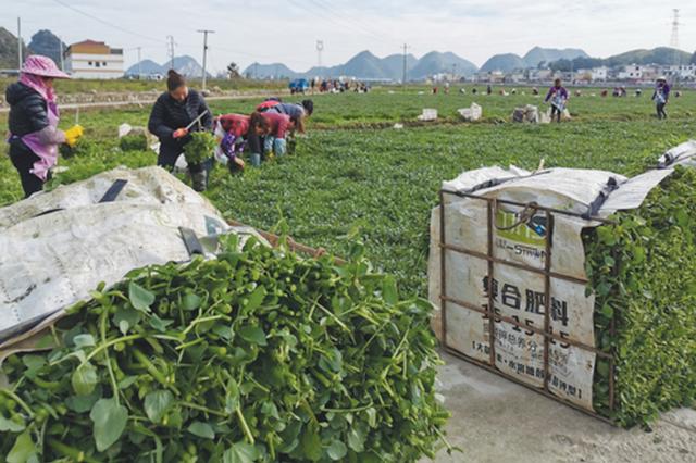"""安顺:农业产业点""""土""""成金"""