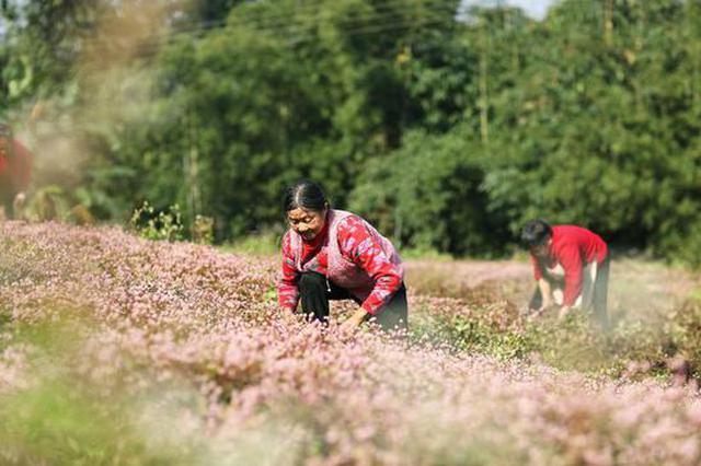 贵州赤水过这:中药材种植助增收