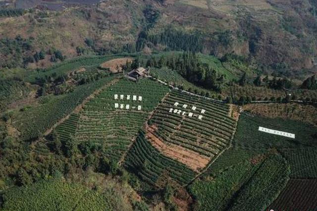 """中国茶园种植面积大省贵州迎来2021年绿茶""""第一采"""""""