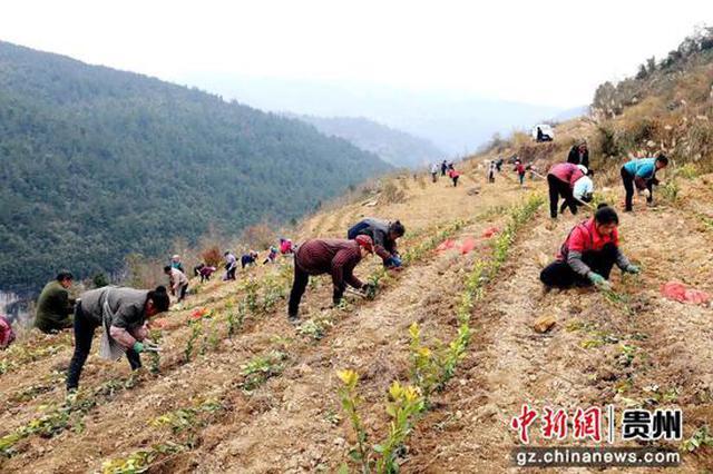 贵州遵义绥阳县庙湾村:冬种时节种茶忙