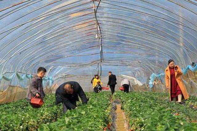 贵州毕节七星关:草莓园里闹新春