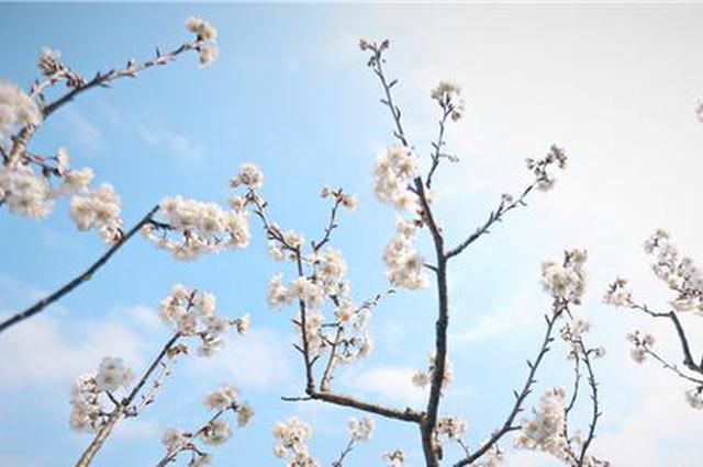 【图集】吃货们准备好了吗?贵阳乌当区下坝镇百亩樱桃花开了