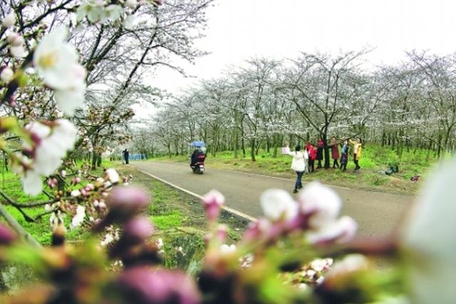 贵安樱花园开园首日2000名游客有序入园赏樱