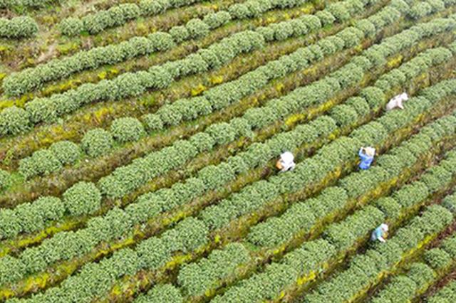 """春茶给贵州山村送来""""第一桶金"""""""