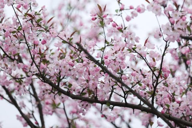 【图集】花燕路上垂丝海棠开