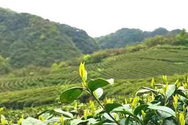 贵州绥阳:四月宽阔水 最是茶香浓
