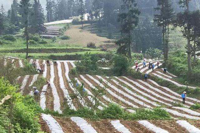 贵州织金:产业领跑助增收