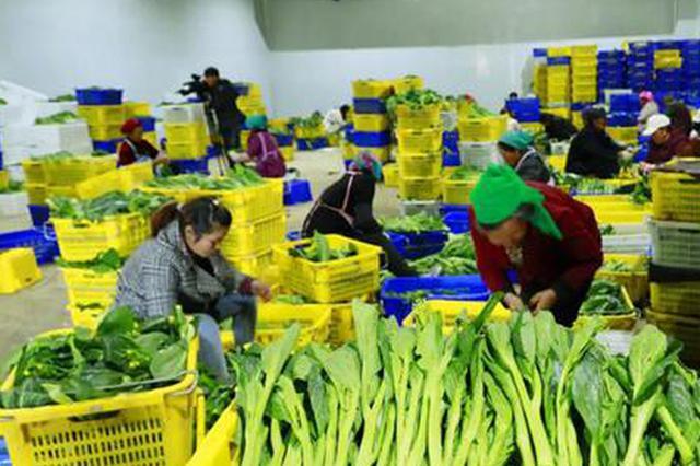 贵州威宁:做好产销大文章 领跑蔬菜大产业