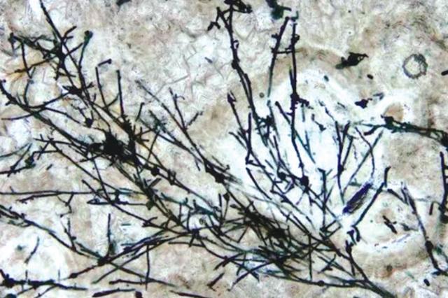 貴州發現6.3億年前真菌化石