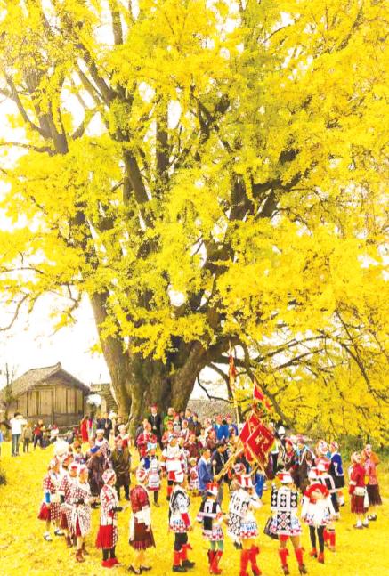 金庄千年银杏树金秋风采。